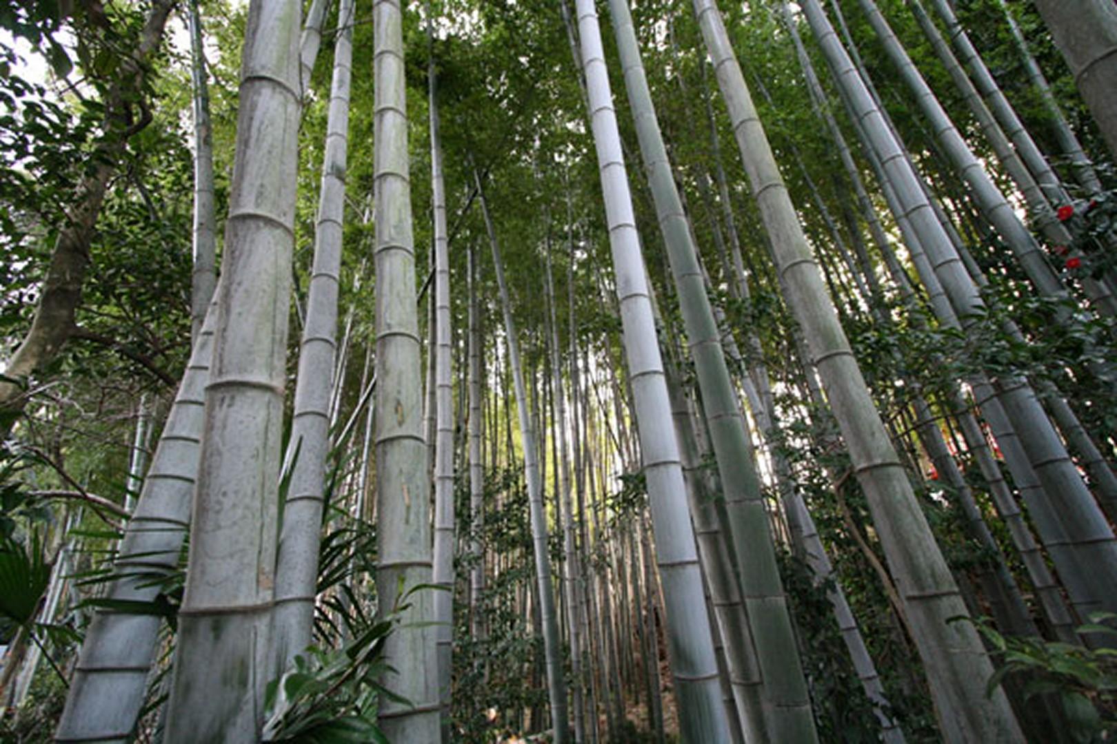 Les Bambous du Mandarin à Montauroux - La Lezardiere