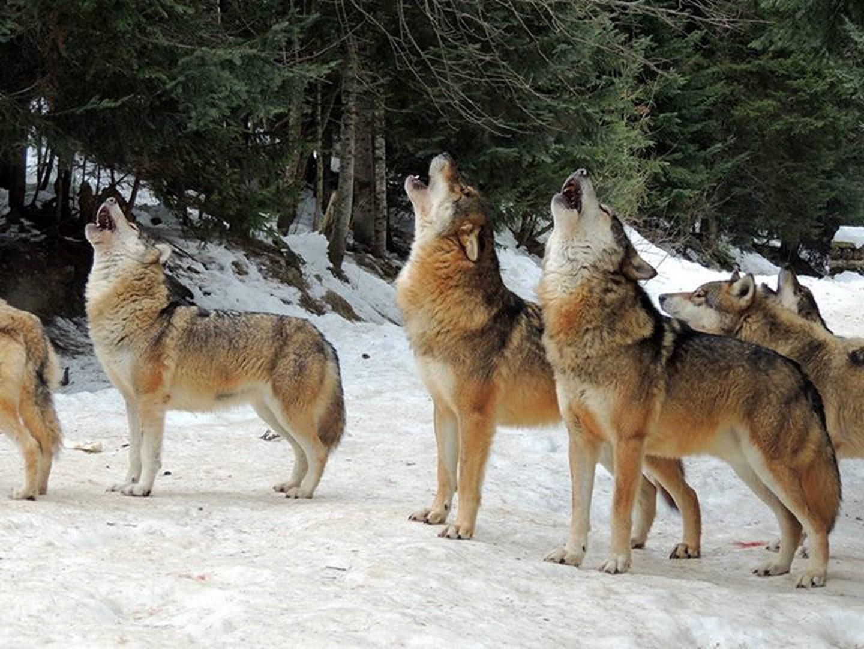 Scenoparc Alpha - le temps du loup (Saint-Martin de Vésubie)
