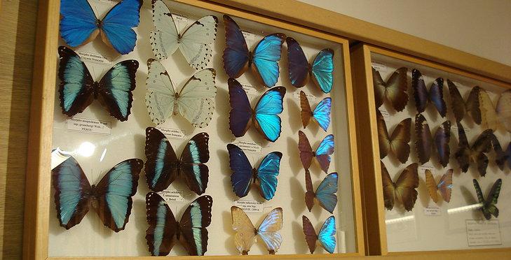 Le Musée d'entomologie ( Papillons et Insectes) de la Bollene Vésubie